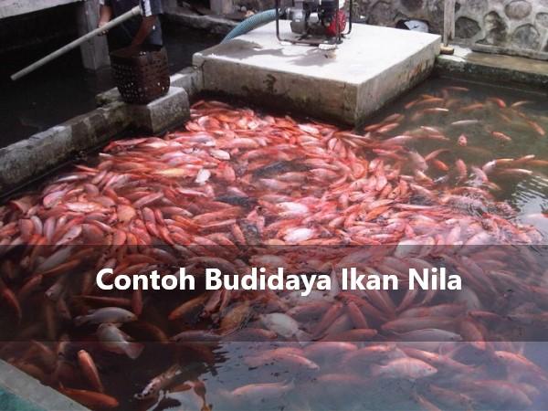 Contoh Budidaya Ikan Nila