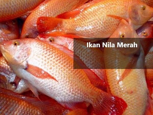 Ikan Nila Merah 2